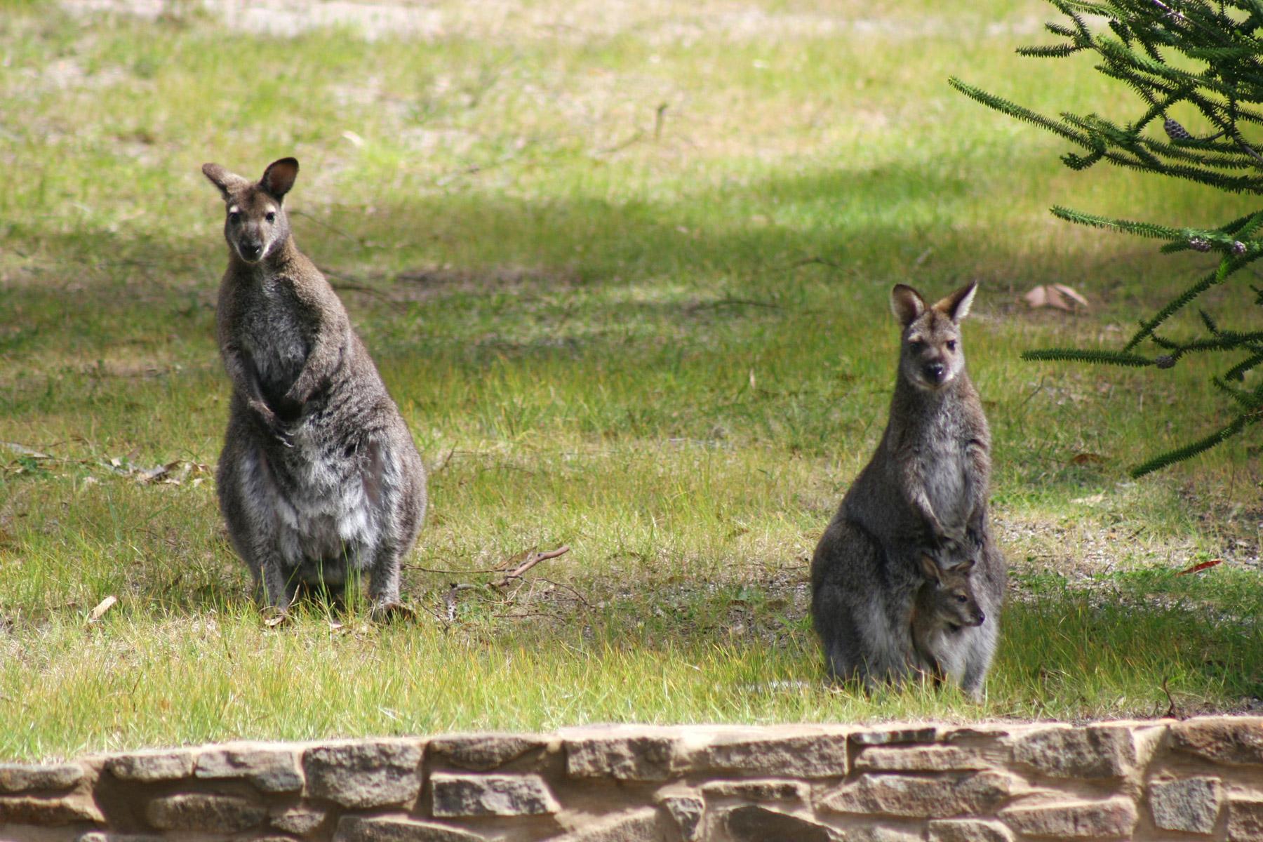 Wallabies Bicheno Tasmania