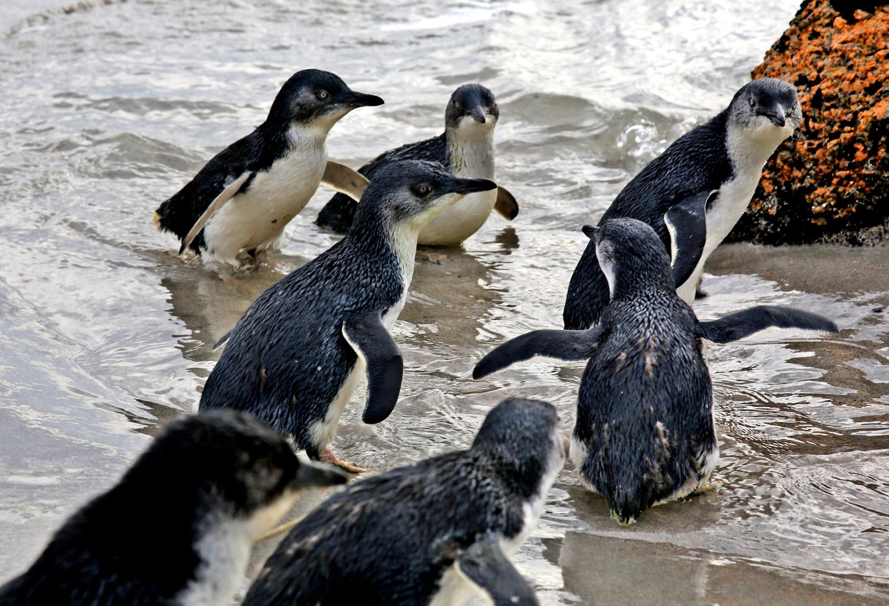 Fairy Penguins Bicheno Tasmania