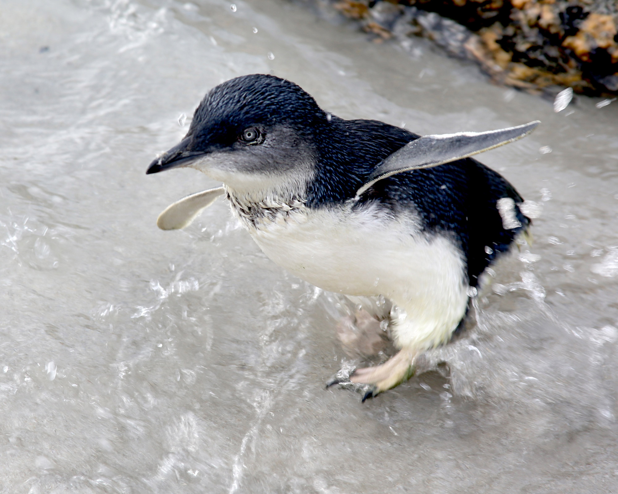 Fairy Penguins Bicheno Tasmania